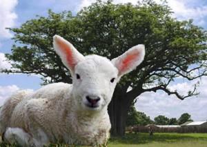 shea lamb